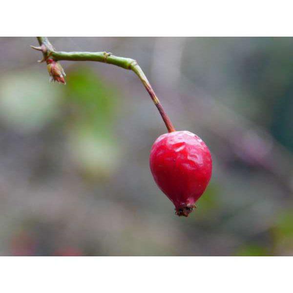 Huile Sèche à l'huile de Rose Musquée Bio – 55ml